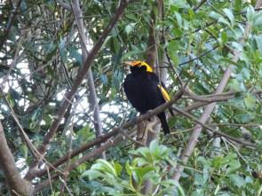 Regent Bowerbird Blog by a young birder, birdwatcher, twitcher, naturalist, environmentalist & writer about birds, wildlife, nature, conservation & ringing (banding)