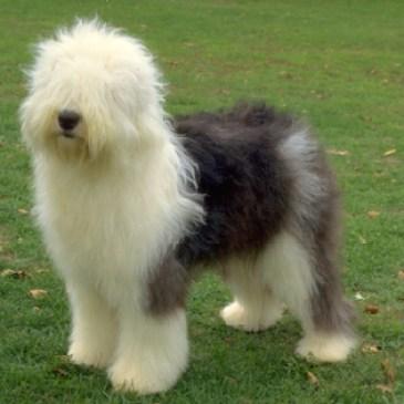 Dicas de Raças – Sheepdog