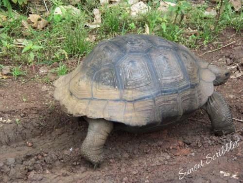 Galapagos - tortoise