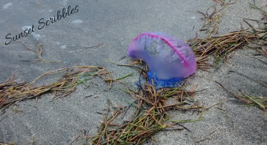 Portugese man of war