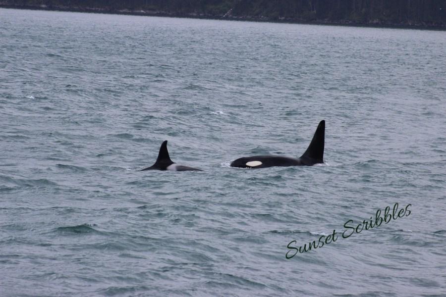 Glacier cruise - Seward, Alaska - Orcas