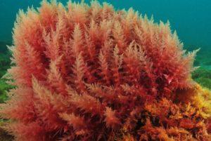 red_algae_1