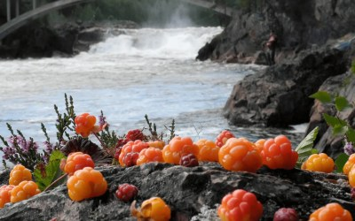 Cloudberry Seed: Toxic or Terrific?
