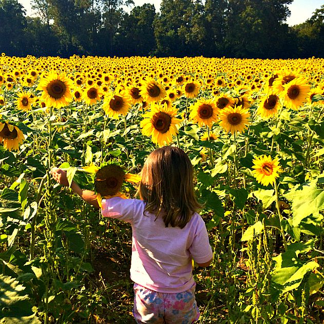 clear meadow farms sunflower fields. Clear Meadow Farms Sunflower Fields and the End of Summer