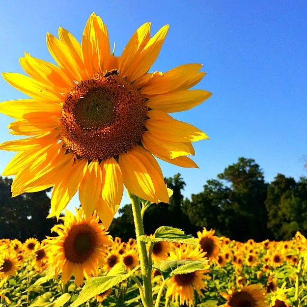 Clear Meadow Farms Sunflower Fields: Fun Things to Do With Kids in Maryland