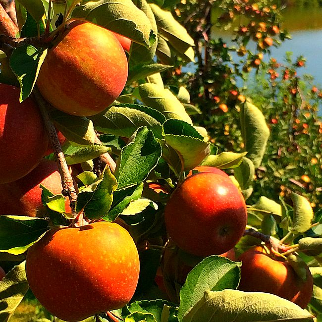 Apple Picking At Baugher's: Fun Things To Do With Kids In