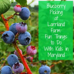 Blueberry Picking at Larriland Farm