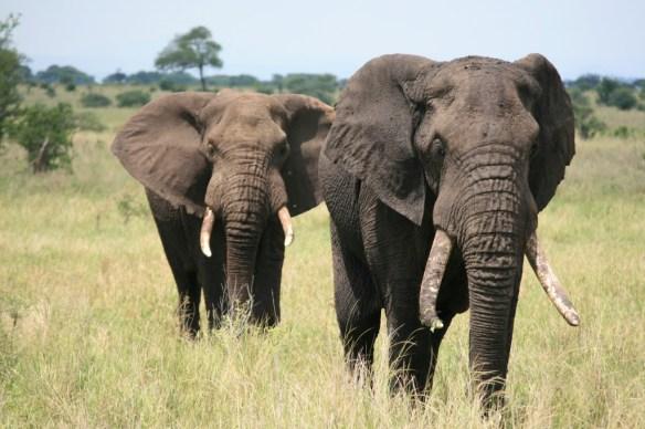 Riktiga elefanter vill jag så klart inte jaga :-)