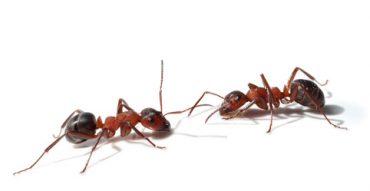 ants Brevard County FL