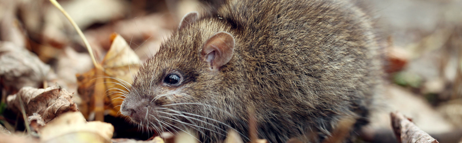 rats, mouse, rodent control