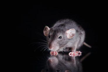 rat problem in Palm Bay?