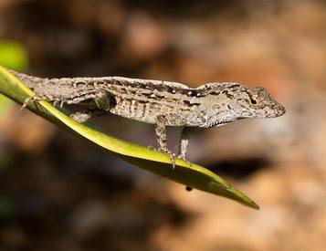 lizards in Brevard County FL