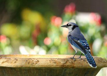 blue jay resting at a bird bath