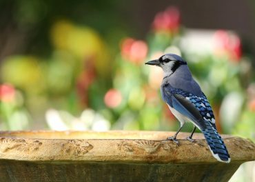 blue jay resting at a bird bath