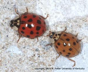 lady bug vs ladybeetle