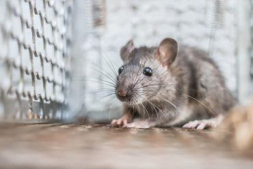 The problem with rat traps