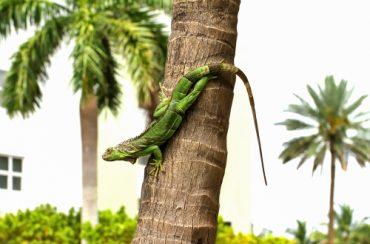 Green Iguana problem