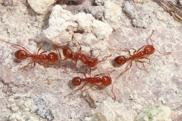 fire ant found in Brveard County Florida