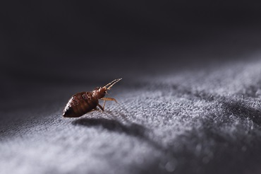 Resistant bed bugs