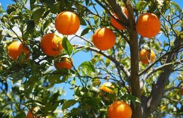 what is killing my orange tree?