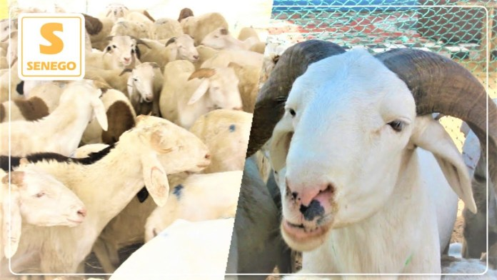 Tabaski 2021: Le mouton se fait rare dans la ville de Touba (Senego TV)ParMouhamed DIOUF 19/07/2021 à 15:10
