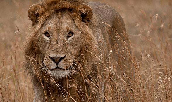 Lion Listening in Africa