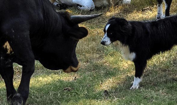 Dog Annoying the Bull