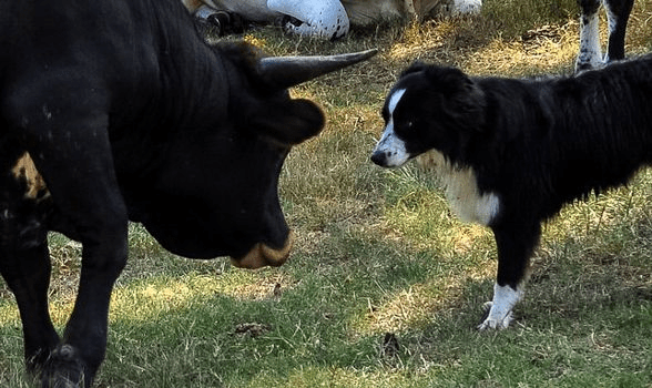 Dog Annoying the Bull