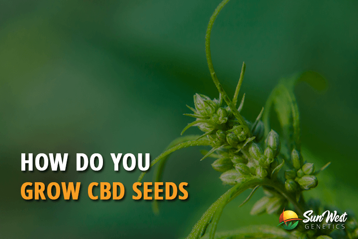 grow cbd seeds
