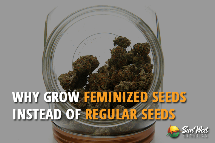Autoflowering Feminized Seeds VS  Regular Seeds | Sunwest