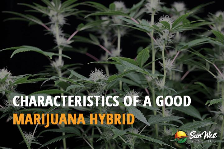 marijuana hybrid