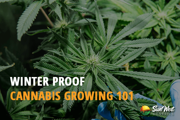 winter growing cannabis