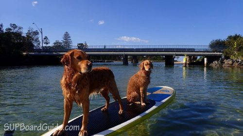 Two dogs on a paddle board
