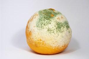 schimmelnde mandarine