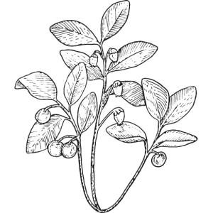 gaultherie huiles essentielles aromathérapie naturopathie