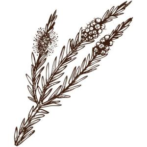 teatree  huiles essentielles aromathérapie naturopathie