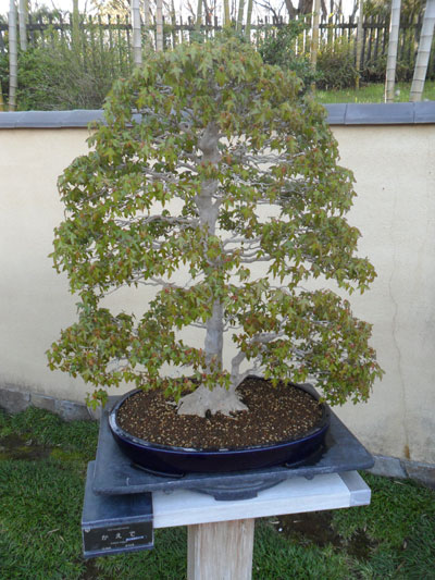 showa_kinen_bonsai_6
