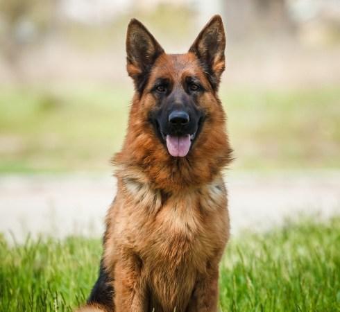 Les avantages et les inconvénients de la possession d'un chien de berger allemand