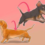 Ne donnez pas de problèmes de dos à votre teckel en les ramenant dans le mauvais sens 8