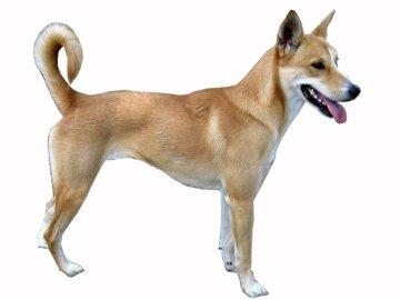 carolina dog races de chiens
