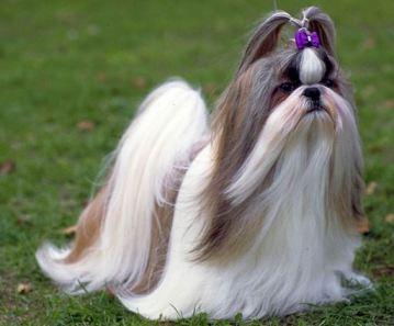 shih tzu la meilleure periode de chien de tour