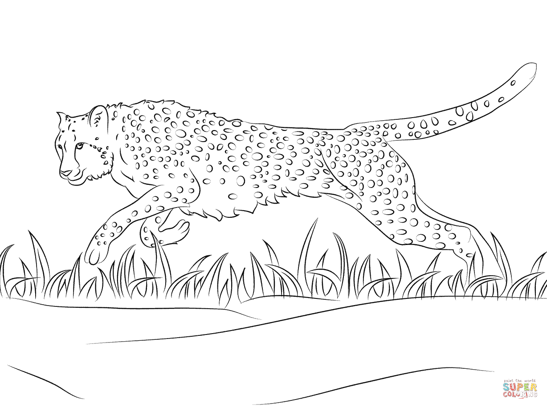 click the cheetah runs coloring page to view printable version or