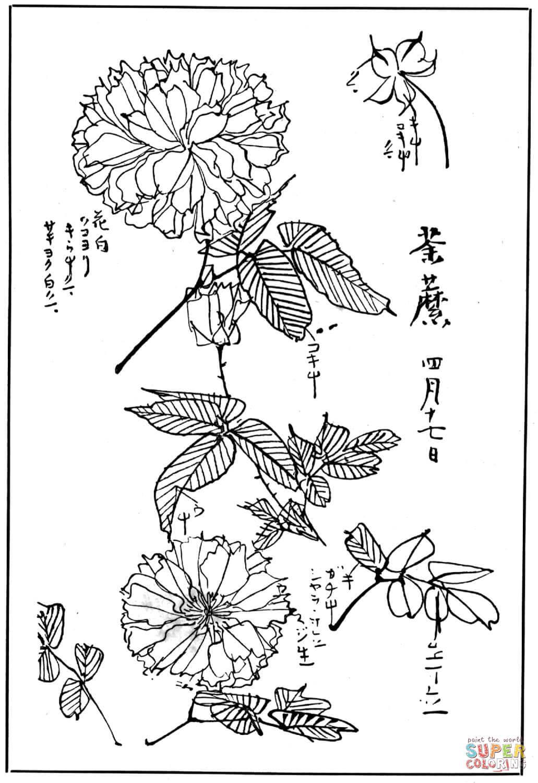 Chrysanthemum 1 Coloring Page