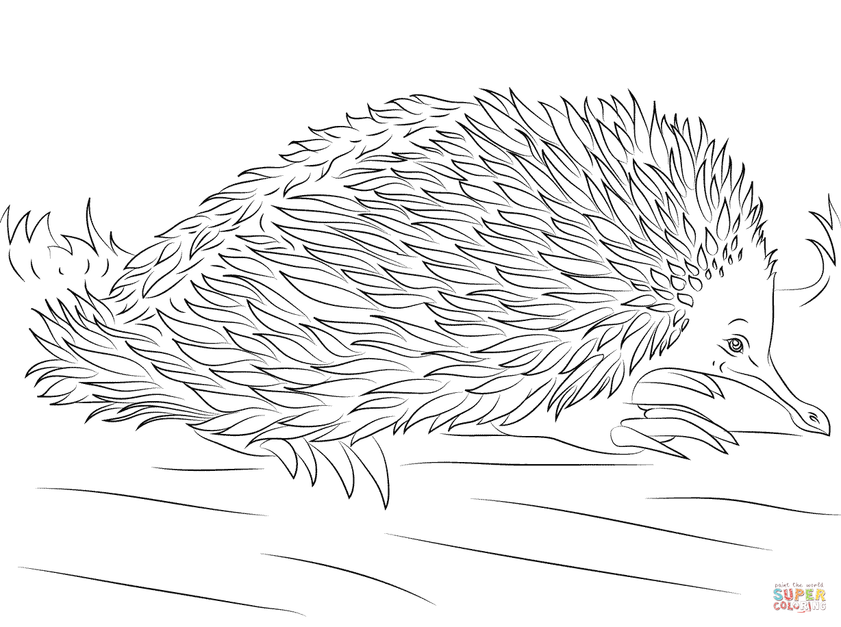 Printable Echidna Coloring Page Sketch Coloring Page