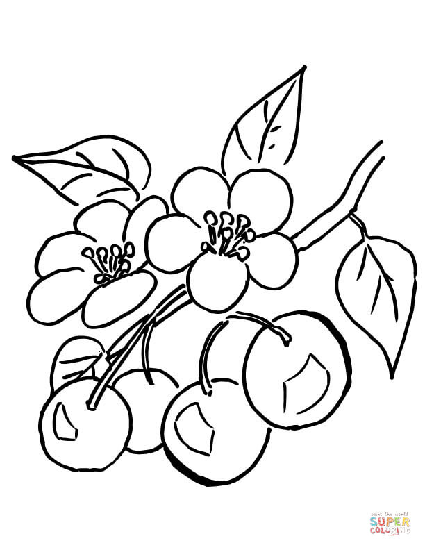 branch of cherry tree coloring page free printable coloring pages