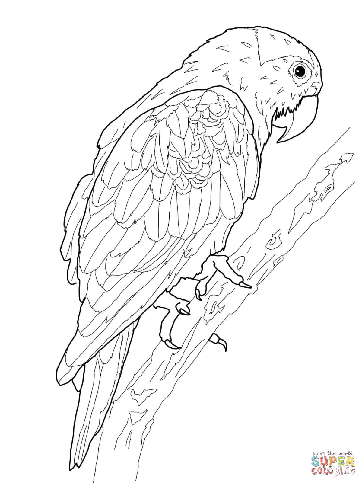 patagonian conure coloring sheet coloring pages
