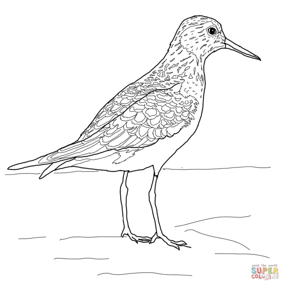 Baird S Sandpiper Coloring Page