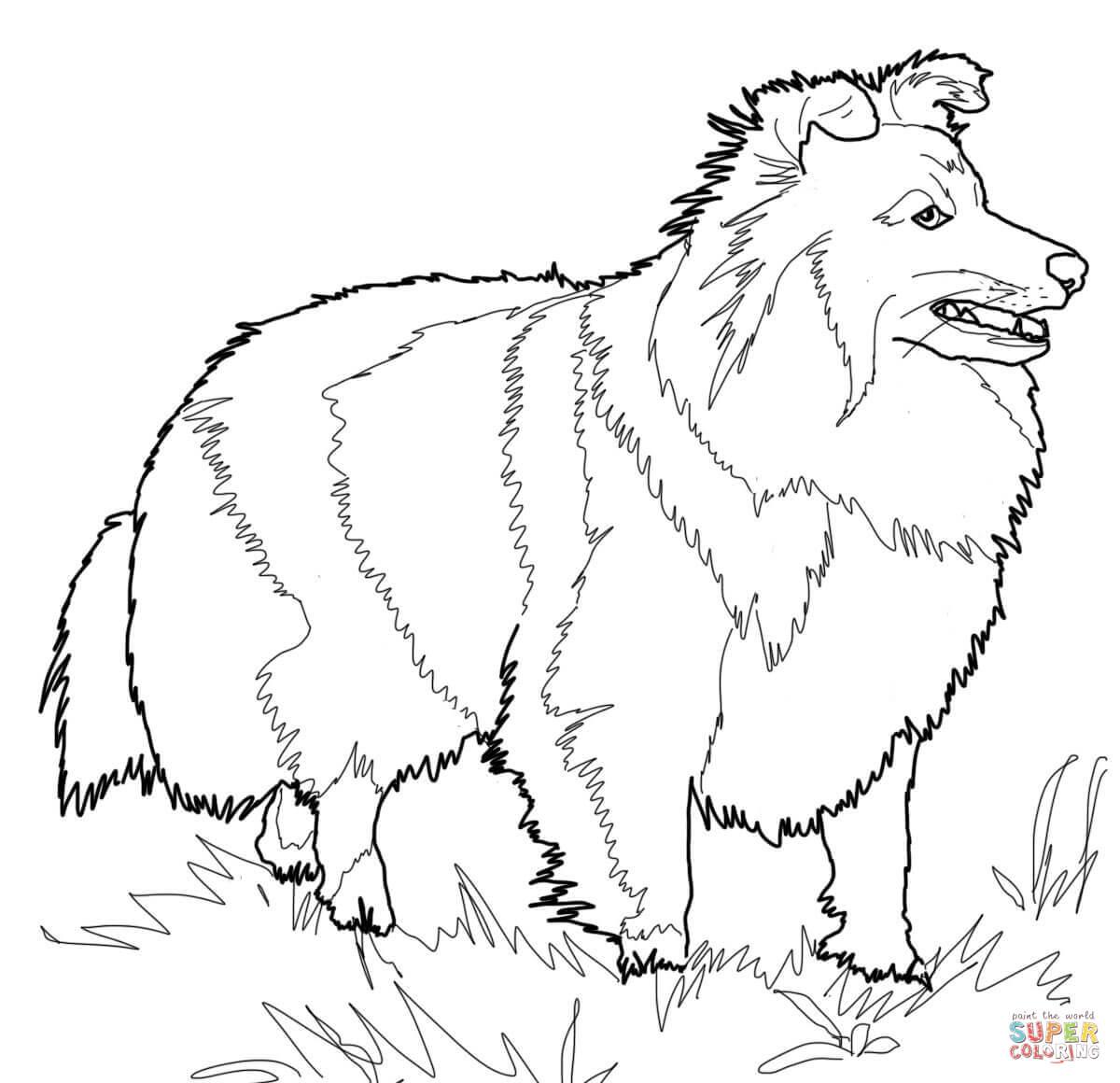 Ausmalbild Shetland Sheepdog