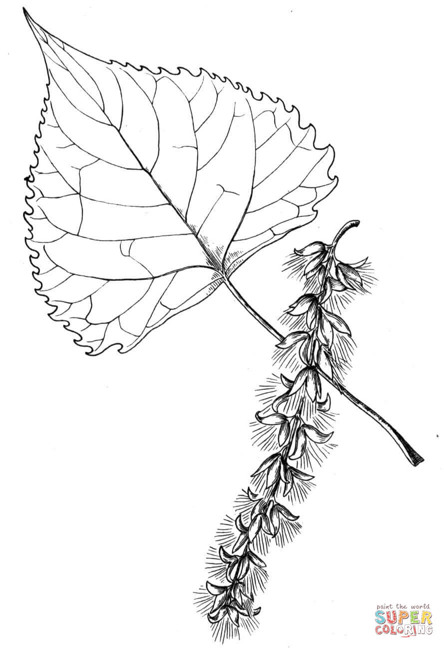 Cottonwood Tree Leaf Coloring Page Free Printable
