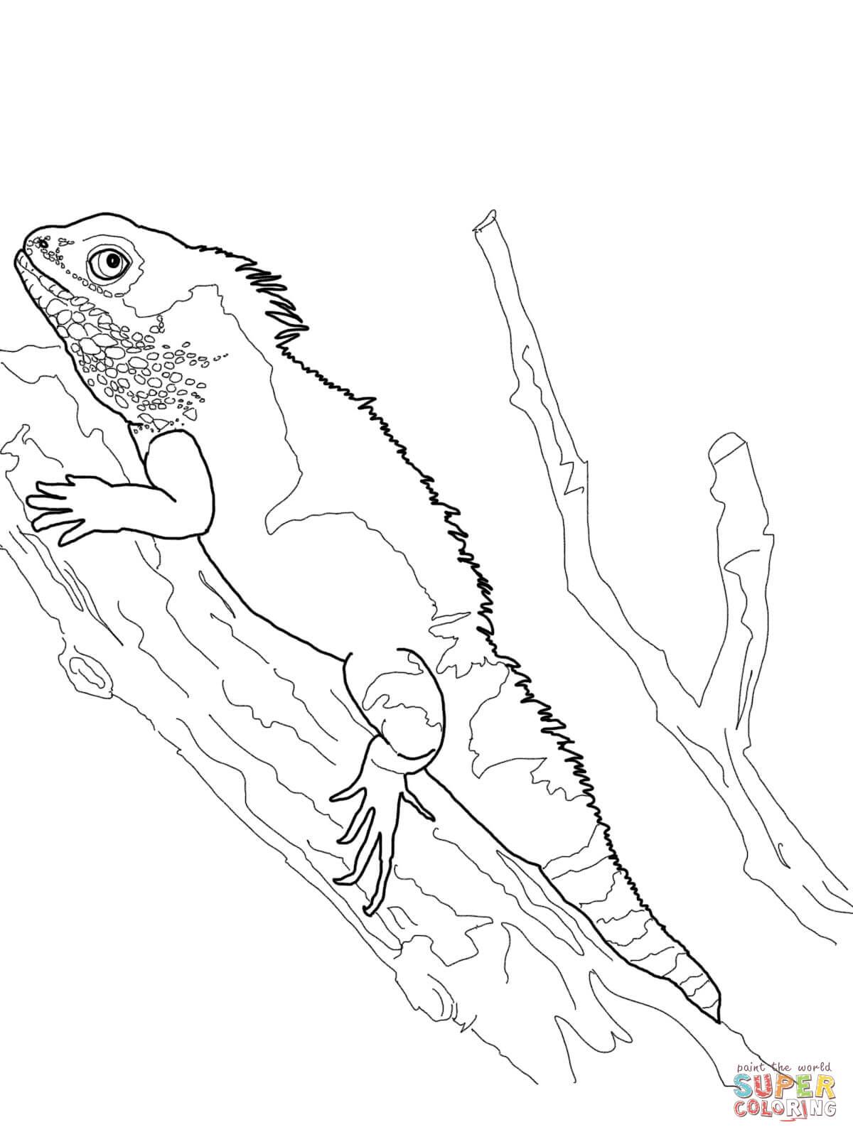 Basilisk Lizard Coloring Page Basilisk Lizard Coloring Page